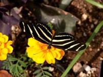 Zebra Longwing Butterfly Photograph