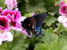 Pipevine Swallowtail Photograph
